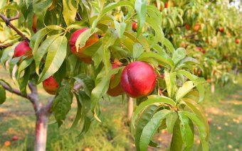 la nectarina y sus beneficios para la salud